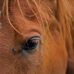 Paard gewond door heteluchtballon