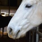 Particulier koopt ziek paard van handelaar